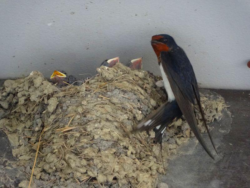 錦果楼の入り口の軒下には、ツバメの親子が居候してました。
