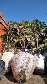 Pengiriman Bibit Durian Ke bali