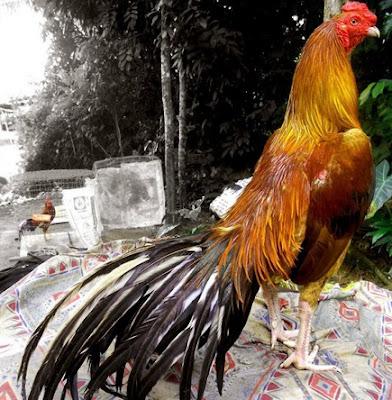 Tips Cara Ampuh Dan Akurat Untuk Mengetahui Ciri Sisik Kaki Ayam Bangkok Laga Yang Terbaik