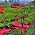 Malaisie - les plantations de Cameron Highlands et Mossy Forest