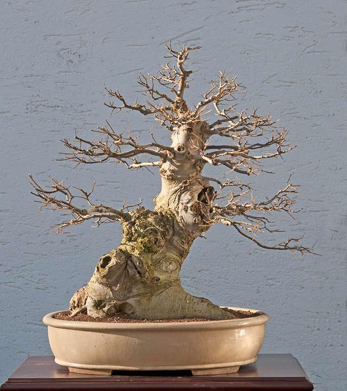 10 Bonsai Seeds Celtis australia European Nettle
