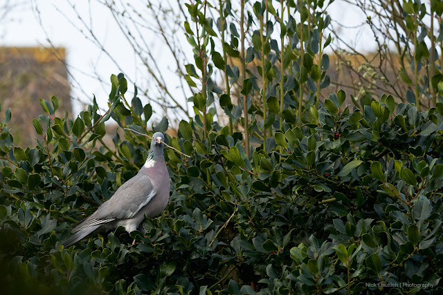 Pigeon sitting in tree. 192mm. 1/500th sec. ISO 1250. f/5.6