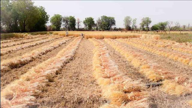 तेज गर्मी के बीच किसान अपनी फसल की कटाई में लगा हुआ है ताकि कोई भूखा ना रहे