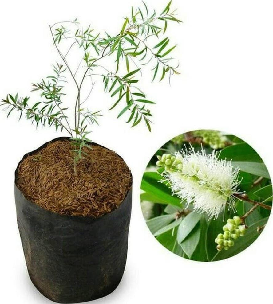 Bibit Pohon Kayu Putih Terbaik Maluku Utara