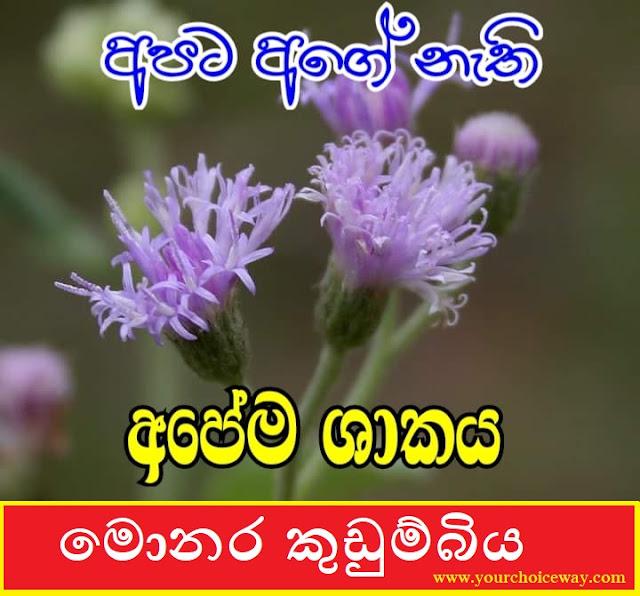 අපට අගේ නැති අපේ ශාකය - මොනර කුඩුම්බිය (Monara Kudumbiya) [Vernonia Cinerea] - Your Choice Way