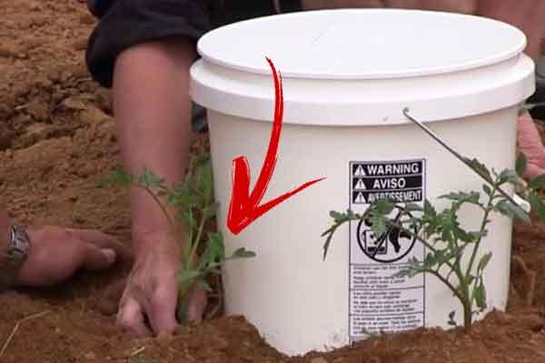 cum sa plantezi rosiile pentru a fi gustoase