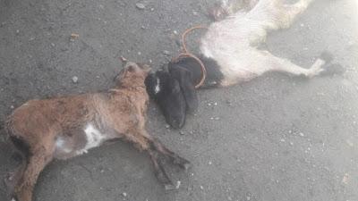 Diduga Diterkam Satwa Liar, Tiga Ekor Kambing Mati dengan Luka Tercabik