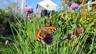 Painted Lady butterflies, an explosion of them but should we be worried?