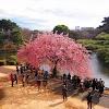 Melihat Bunga Sakura Hiroshima dan Miyajima