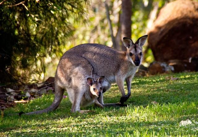 Ciri Khusus Kanguru
