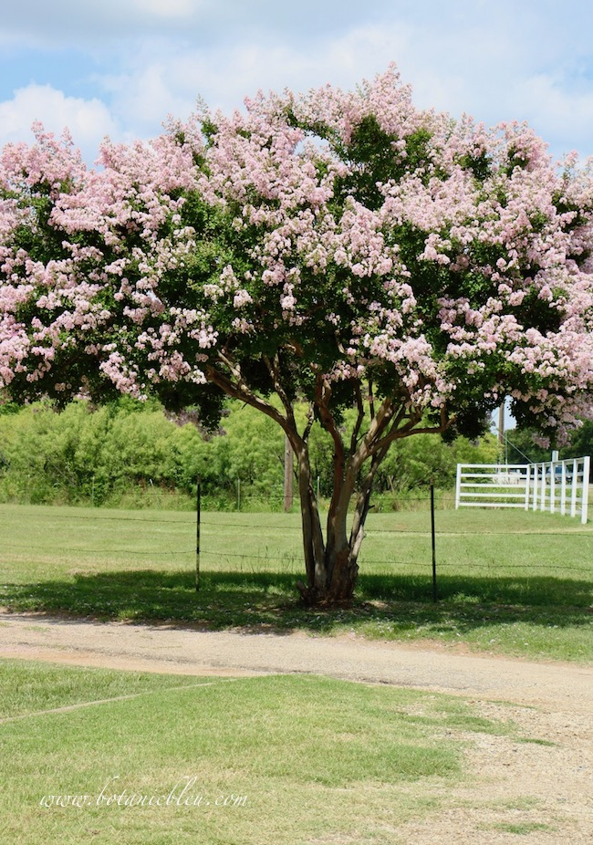 Crepe myrtle trees bloom best when pruned in winter