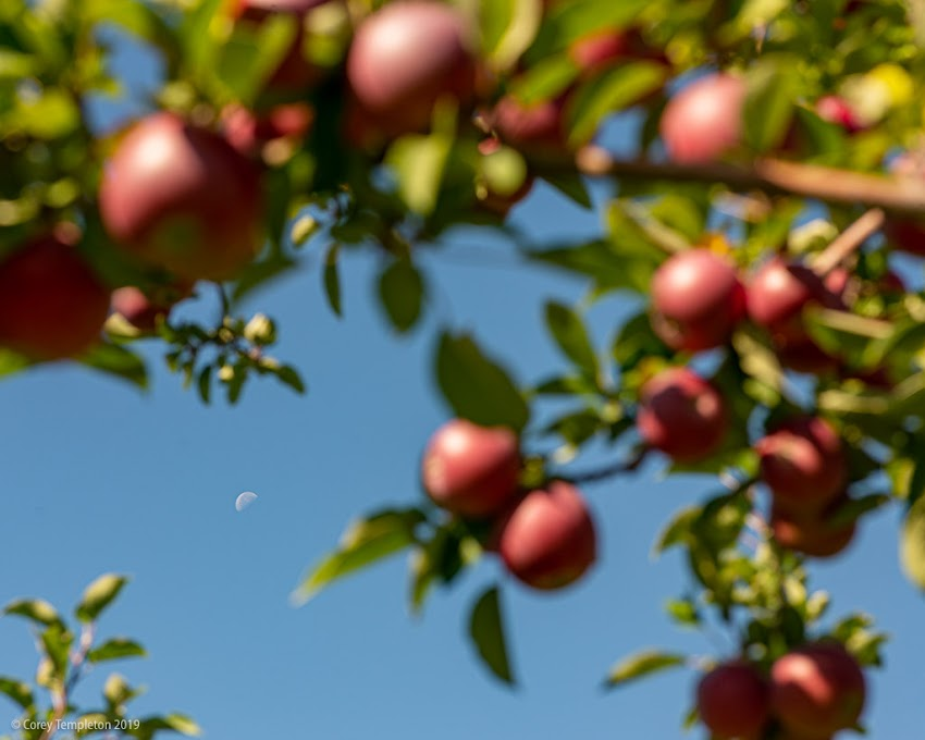 New Gloucester, Maine USA September 2019 photo by Corey Templeton. The apples are ripe for the picking at Thompson's Orchard in New Gloucester. Moon and apples.