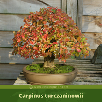 Carpinus turczaninowii