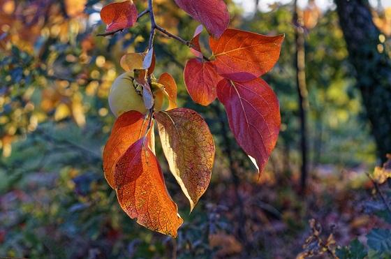 zorenje-kakija-jeseni