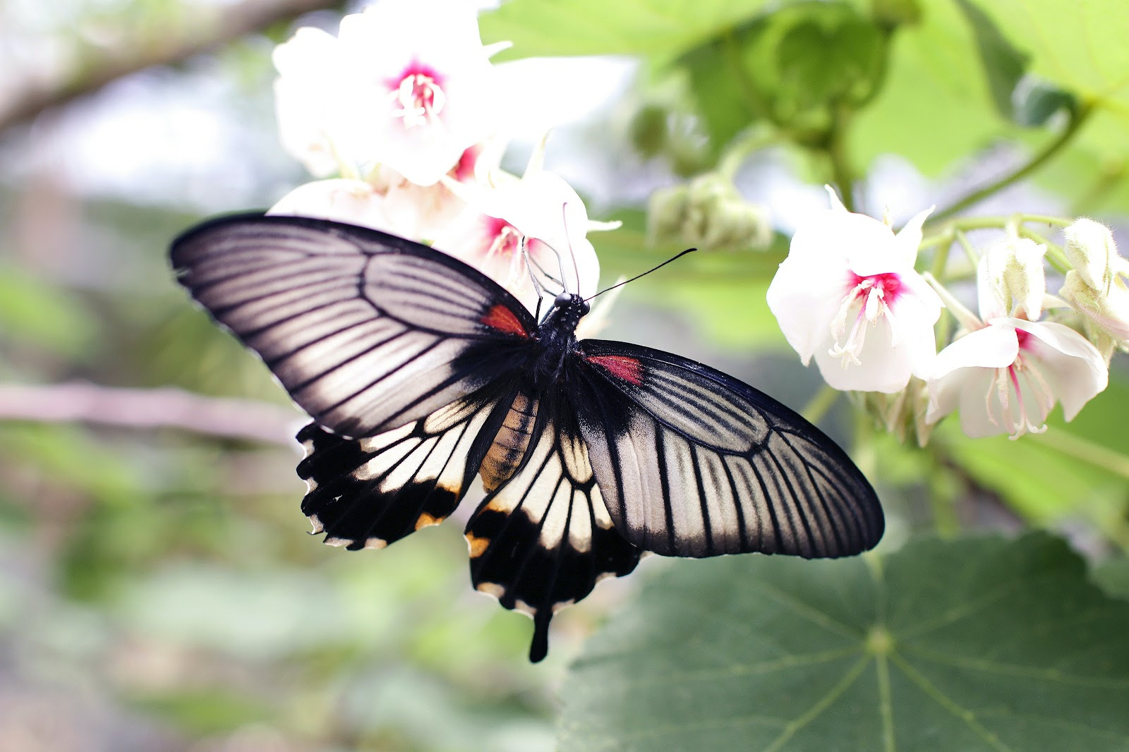 gray-and-black-butterfly-sniffing-white-flower-images