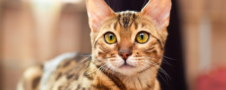 BENGAL CAT - Best Cat Breeds