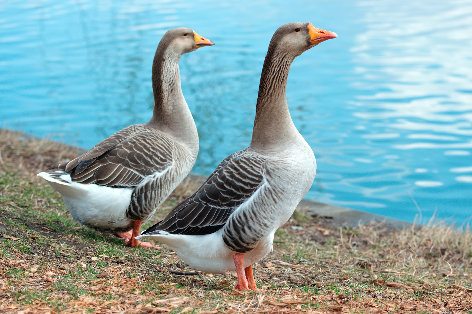 geese-near-body-of-water-birds-pictures