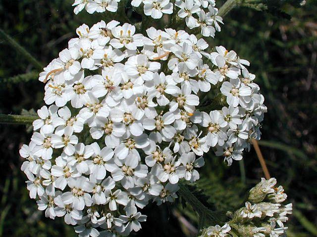 yarrow flower - photo #33