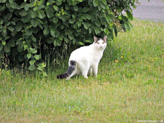 Gato en New Hampshire