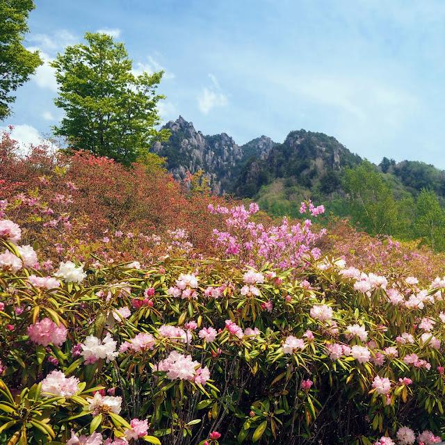 瑞牆山 みずがき山自然公園 ツツジ シャクナゲ