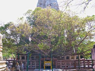 Bodhi fa ami alatt Ülve Buddha megvilágosodott.