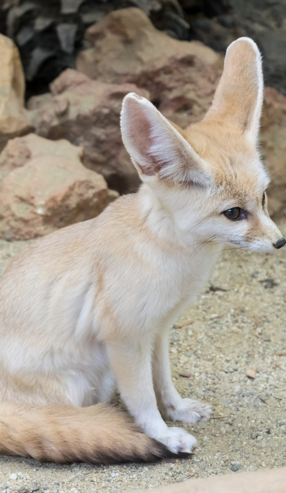 Cute fennec fox.