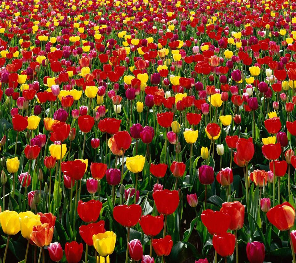 Flowers For Flower Lovers.: Tulip Flowers Hd Desktop
