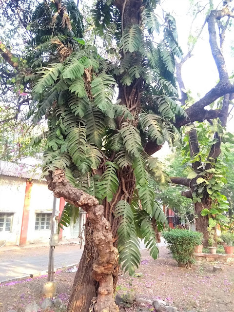 Tree Walk, Pune, Bogan