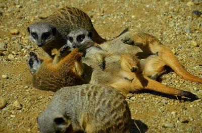 Erdmännchen, meerkats, meerkatte, surikater, Surykatki, Сурикаты, Мееркатс, podgane, suricatas, stokstaartjes, Мееркат, surikaty, сурікати, Meerkat chayon,