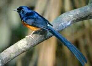 Alergi burung ocehan