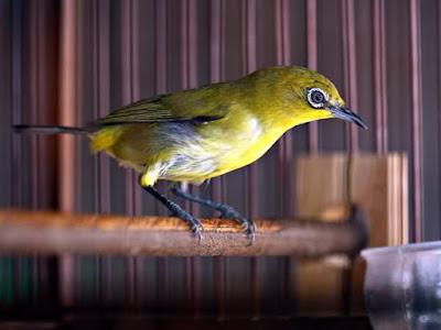 Video Burung Pleci Ngeriwik Buka Paruh dan Tahapan Pleci Berkicau VIDEO BURUNG PLECI Ngeriwik Buka Paruh dan Tahapan Pleci Berkicau