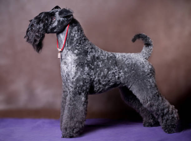 Kerry Blue Terriers – A Mysterious Breed