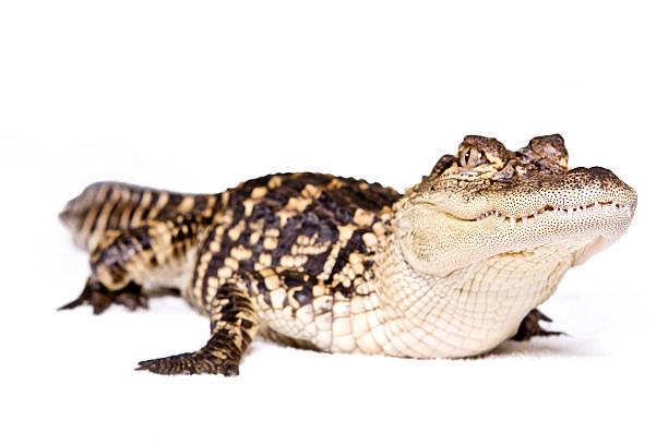 Pet Alligators – The Most Dangerous Pets