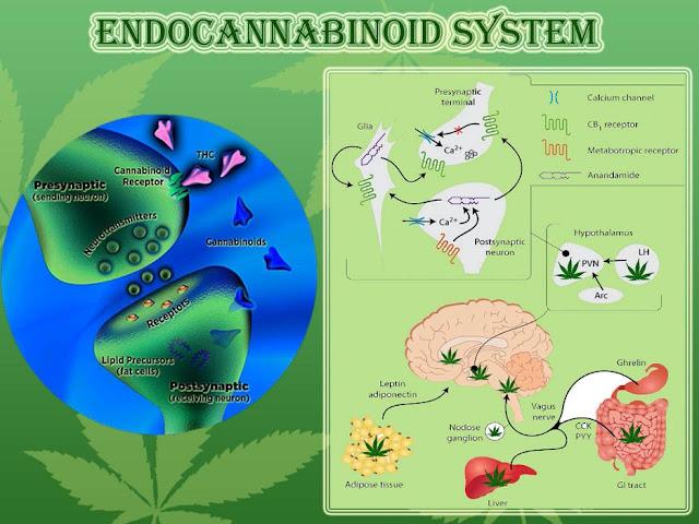 endocannabinoids infographic