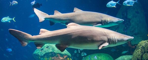 những chú cá mập y tá chân thực tại S.E.A Aquarium