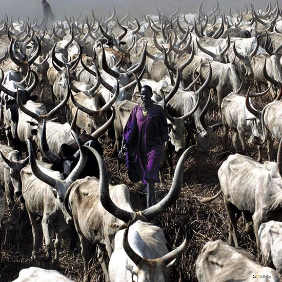 Safari Fusion blog >< Ultra violet | Pantone Colour of the Year 2018 | Dinka cattle, South Sudan | Photographer @africanceremonies