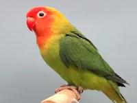 Download Suara Lovebird Jantan