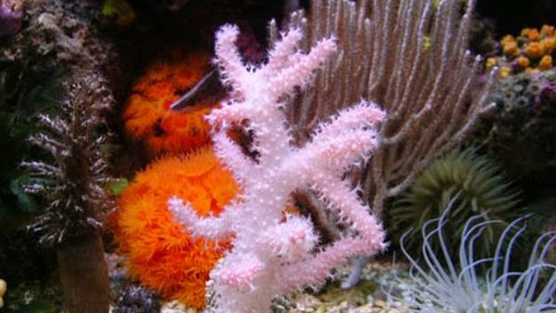 coral species, soft coral types, hard coral types, coral types names, coral types aquarium, types of coral reefs, coral types list, coral types of bets