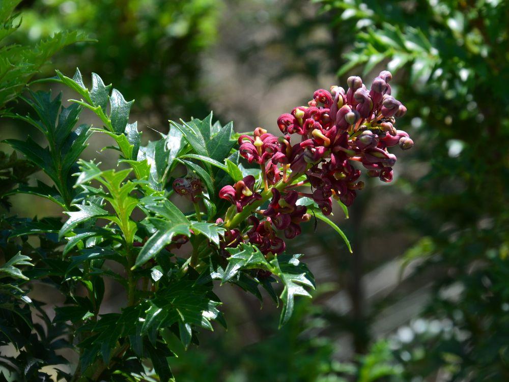 Lomatia tasmanica