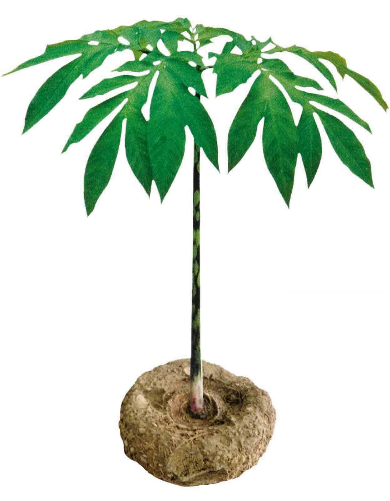 Amorphophallus Konjac Plant
