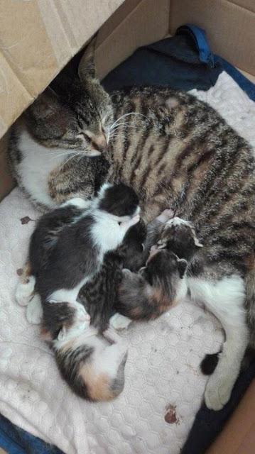 Vợ sinh 6, mèo đực sốt sắng tới thăm con, nhưng rồi lại chỉ biết câm lặng đứng nhìn từ xa
