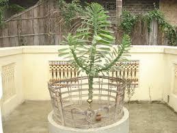 Cactus (Bwrai Bathou)