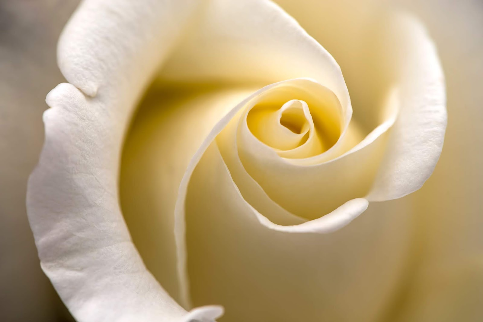 close up photography of white rose , rose images