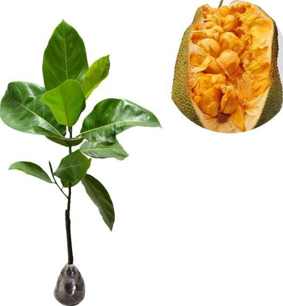 Tanaman Buah Cempedak Durian Cilegon