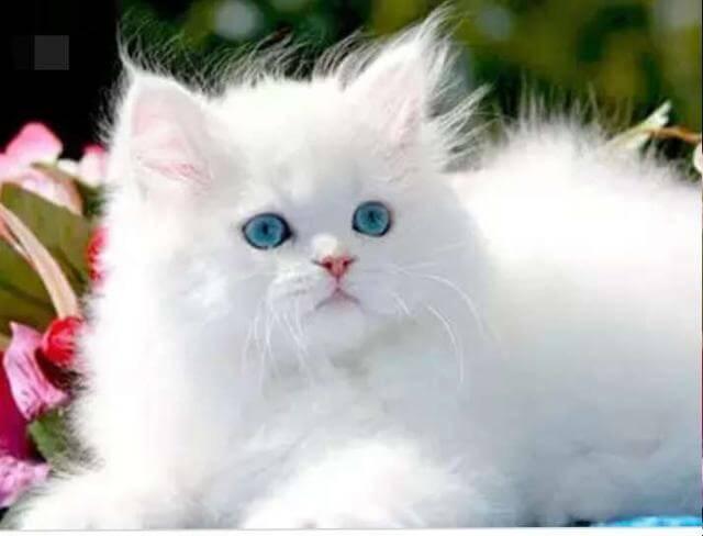 معلومات عن أنواع القطط حيونات أليفة