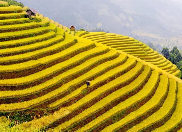 Mơ thấy ruộng lúa trĩu hạt - soicauxsmb.com