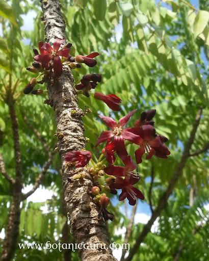 Averrhoa bilimbi flowers