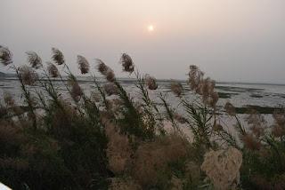 Wild Sugarcane or Kans Grass