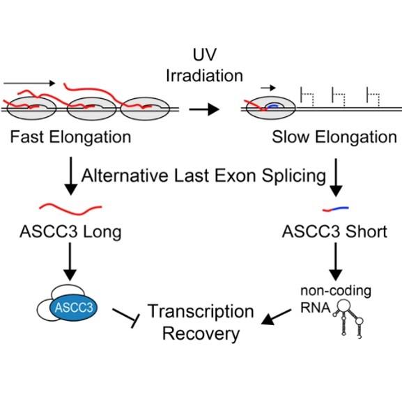 Liga universitria de imunologia rna no codificante ajuda clula a o mecanismo pelo qual as isoformas curtas auxiliam no reparo do dna ainda desconhecido mas sabe se que a interao entre as isoformas de mrna do gene ccuart Images