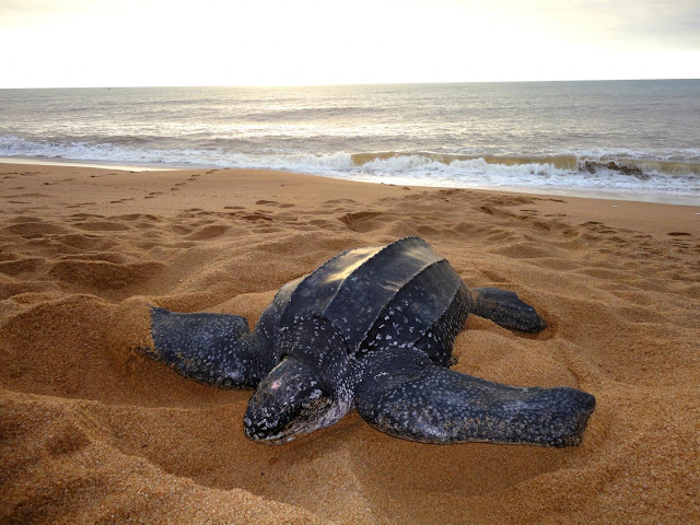 'Gentle recovery' of Brazil's leatherback turtles